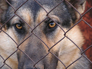 300px-german_shepherd_eyes