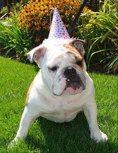 Squishy faced dog with party hat training to stay