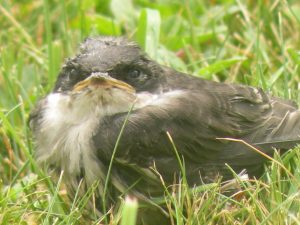 grounded swallow