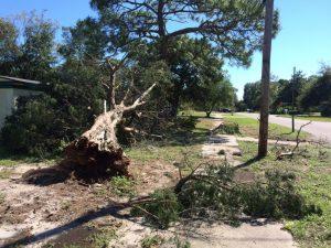 toppled-cypress