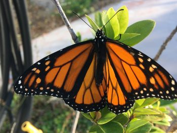 monarch butterfly on plant