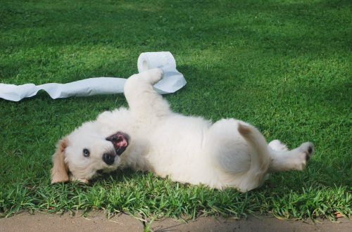white puppy rolling on green grass